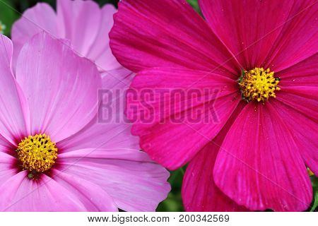 Large Cosmea of Cosmos flowers in pink tones