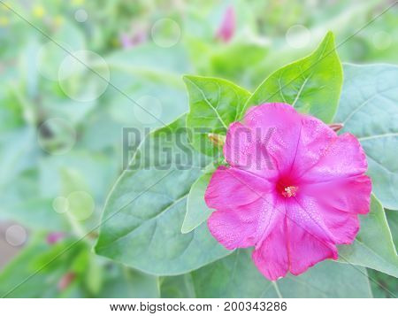 Pink Mirabilis in a garden. A flower with green leaves on an indistinct background with patches of light