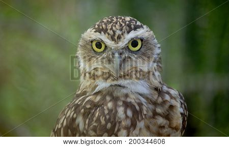 Close-up view of a young true owl in the zoo.