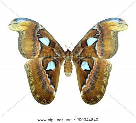Atlas Moth Or Attacus Atlas Is A Large Butterfly