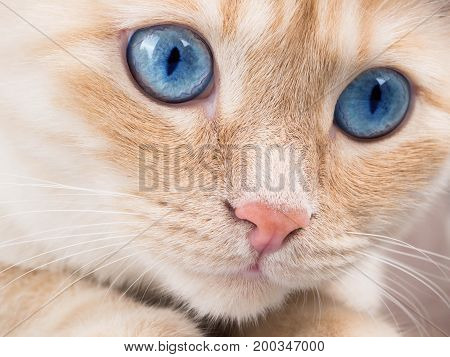 Emotional White Red Cat Playing, Surprised, Pet Plays. The Concept Happy Cat, Blue Big Eyes, Portrai