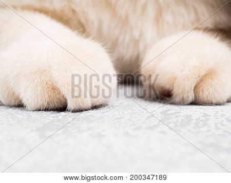 Paws Fluffy Cat, Close, Cute Red Paws