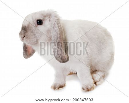 Mini Lop in front of white background