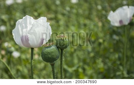Opium Poppy Field Flower And Seeds Capsules Close Up