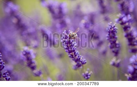 Lavender And Insects Close Up Nature Summer Flowers Fiends