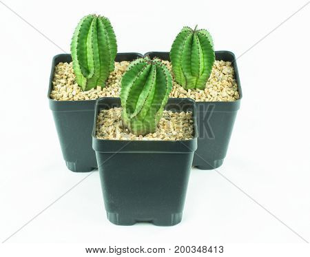 Euphorbia Anoplia Zipper Plant Growing in Nursery Pot