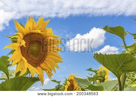Sunflowers blue sky and White Clouds Nature Sommer Season Flowers