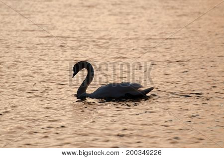 Swan Silhouette On Geneva Lake. Sunset Time. Switzerland.