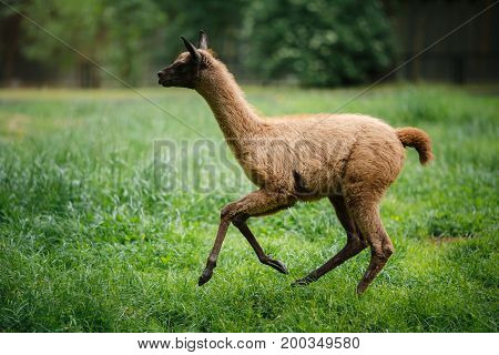 Grey llama gallops across the grass of the field