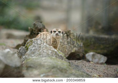 Meerkat On The Rocks