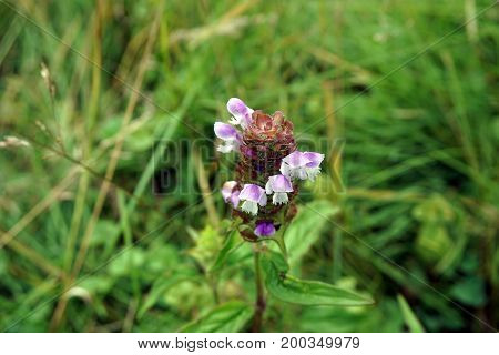 Common self-heal (Prunella vulgaris) blooms in the Hammel Woods Forest Preserve in Shorewood, Illinois, during July.