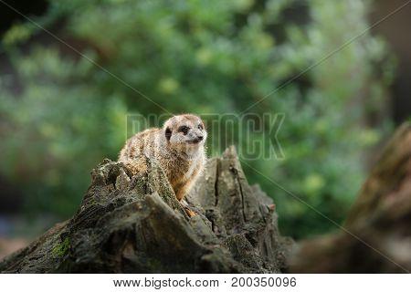 Meerkat On A Tree Stump