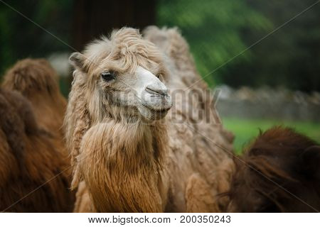 Camel in the zoo with grass in the background
