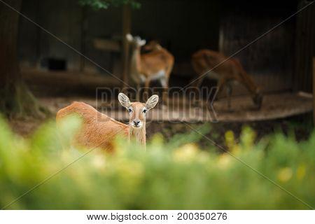 A deer walks through aviary at the zoo