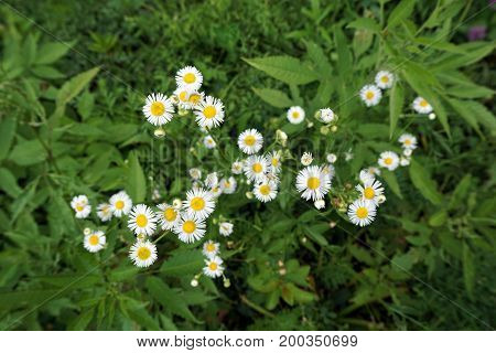 Oxeye daisies (Leucanthemum vulgare) bloom in the Hammel Woods Forest Preserve in Shorewood, Illinois, during July.