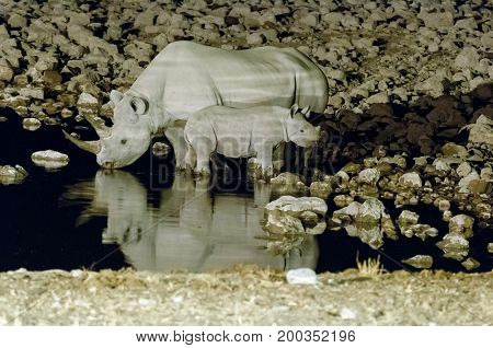 A black rhinoceros cow Diceros bicornis also called hook-lipped rhinoceros and calf drinking water at an artificially lit waterhole in Northern Namibia