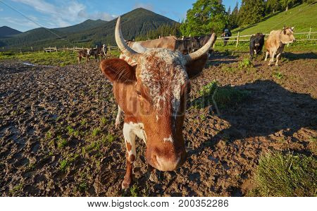 Alpine Cow. Cows Are Often Kept On Farms And In Villages. This Is Useful Animals.