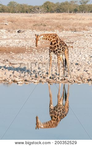 A Namibian giraffe Giraffa camelopardalis angolensis at a waterhole in Northern Namibia. Its reflection is visible in the water