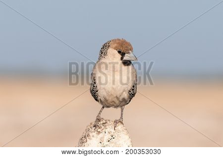 A sociable weaver Philetairus socius facing the camera in Northern Namibia