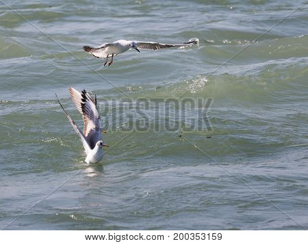 Three large seagulls hunt fish in the Black Sea and wiggle their wings