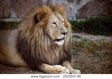 Male Lion resting in the zoo. Wild old lion potrait