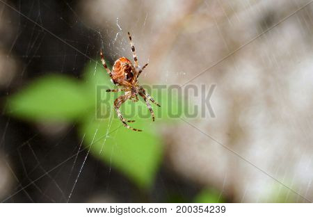Spider on a spider web in wild nature.