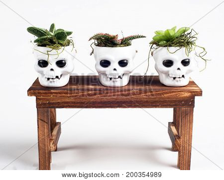 photo ofsucculents in holloween skull pots for holiday display crafts  with white background