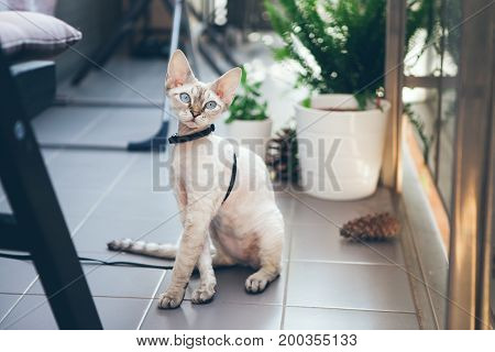 Devon Rex cat is walking in the garden on a leash. Cat is walking outdoor. Adventure cat. Cat enjoying being in fresh air. The pleasure of fresh air and sunshine. Safety Tips. Train your cat to walk on a leash