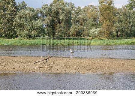 White stork (Ciconia ciconia) feeding in the river Bug, Poland