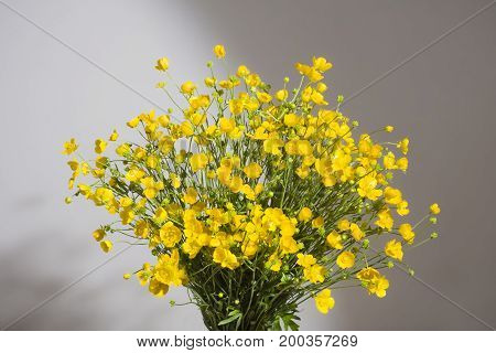 Bouquet of yellow buttercaps  on a gray background