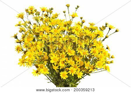 Bouquet of yellow senecios isolated a white background.