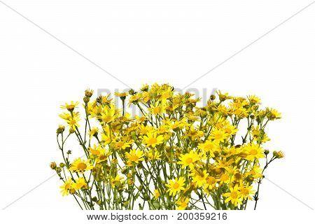 Frame with yellow senecios on a white background.Blossoming yellow senecios isolated on a white background.