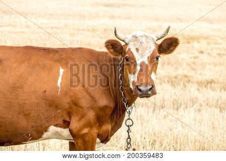 Brown Cow Grazing In A Yellow Field