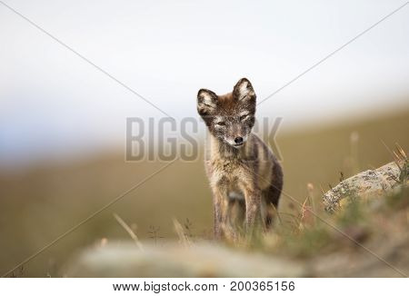 Arctic Fox, Vulpes lagopus, in its natural habitat in summer. soft and light background and foreground. Svalbard Norway,