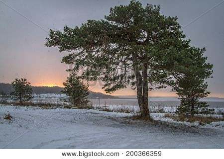 Winter landscape with snow on pine tree, blue sky an early morning in Norway, Fredrikstad, Ora Nature Reserve.