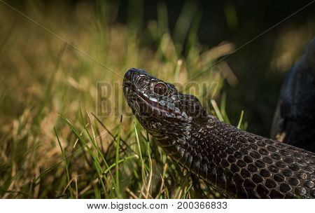 Black European adder - Vipera berus -is a common venomous snake in Norway, this dark snake was found in the south of Norway.