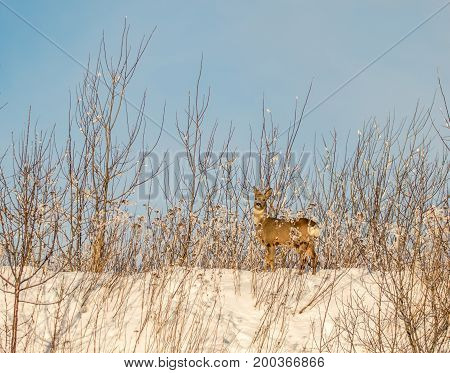 Roe deer buck in Fredrikstad, Norway, close to the junkyard. Several roe deers lives here. Cold winter day with snow, blue sky and sunshine.