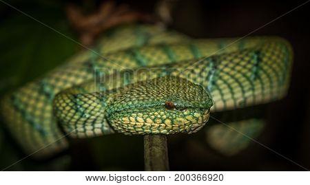 Waglers Pit Viper female found in a bush at Bako National Park Borneo.
