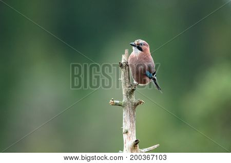 Colorful Eurasian Jay Garrulus glandarius. Bird sitting on a dead tree top in forest, Norway.