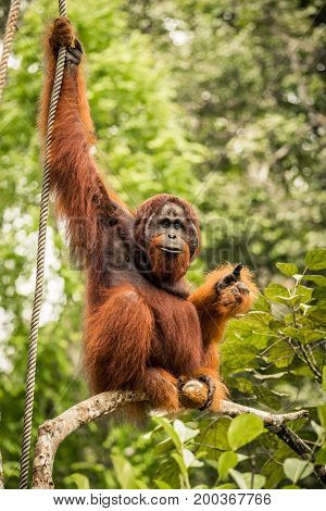 The adult male of the Orangutan living in the Malaysian part of Borneo