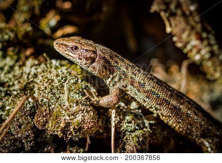 Viviparous lizard or common lizard, Zootoca vivipara in natural habitat Aust-Agder Norway