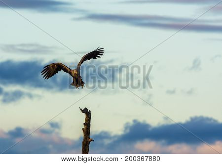 White Tailed Eagle, Haliaeetus albicilla flying and landing in a tree top, horizontal with copy space