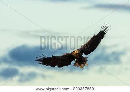 White Tailed Eagle, Haliaeetus albicilla flying with wings spread, with natural sky background and copy space