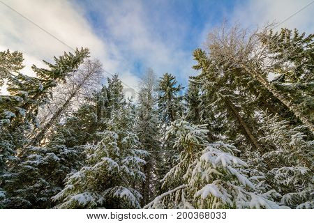 Looking up at snow covered purce forest with blue sky and clouds, in Finnskogen, Hedmark