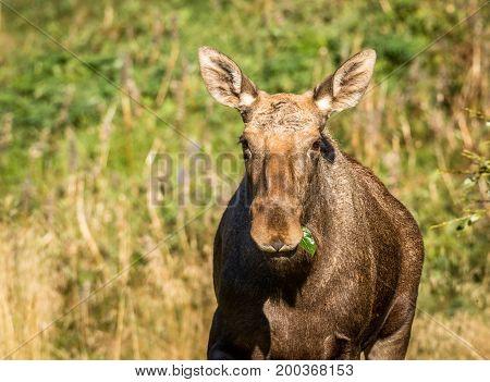 Moose aka European elk, Alces alces, female eating on green leaves, one leaf in her mouth. This is a elk cow living in Elgtun, an Norwegian elk park.