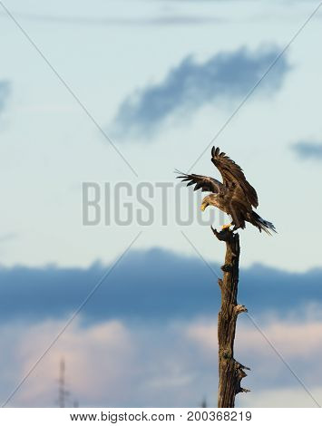 White tailed eagle landing in top of a dead tree, with its wings open and lifted.