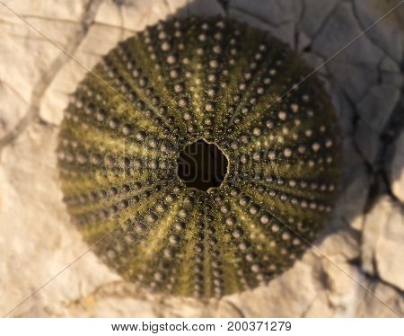 Empty shell of a Sea urchin on a rock.