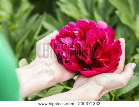 Hands are holding a big red flower