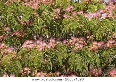 Persian Silk Tree in bloom with leaves.