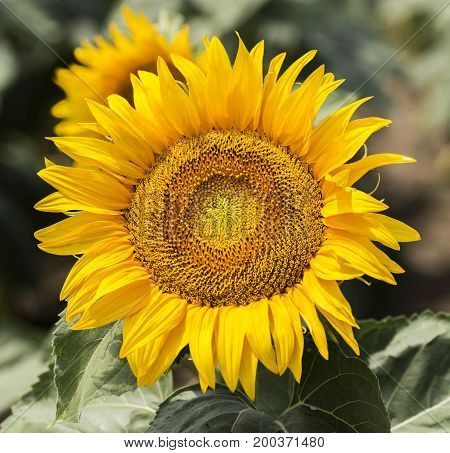 Sunflower close up view in a field